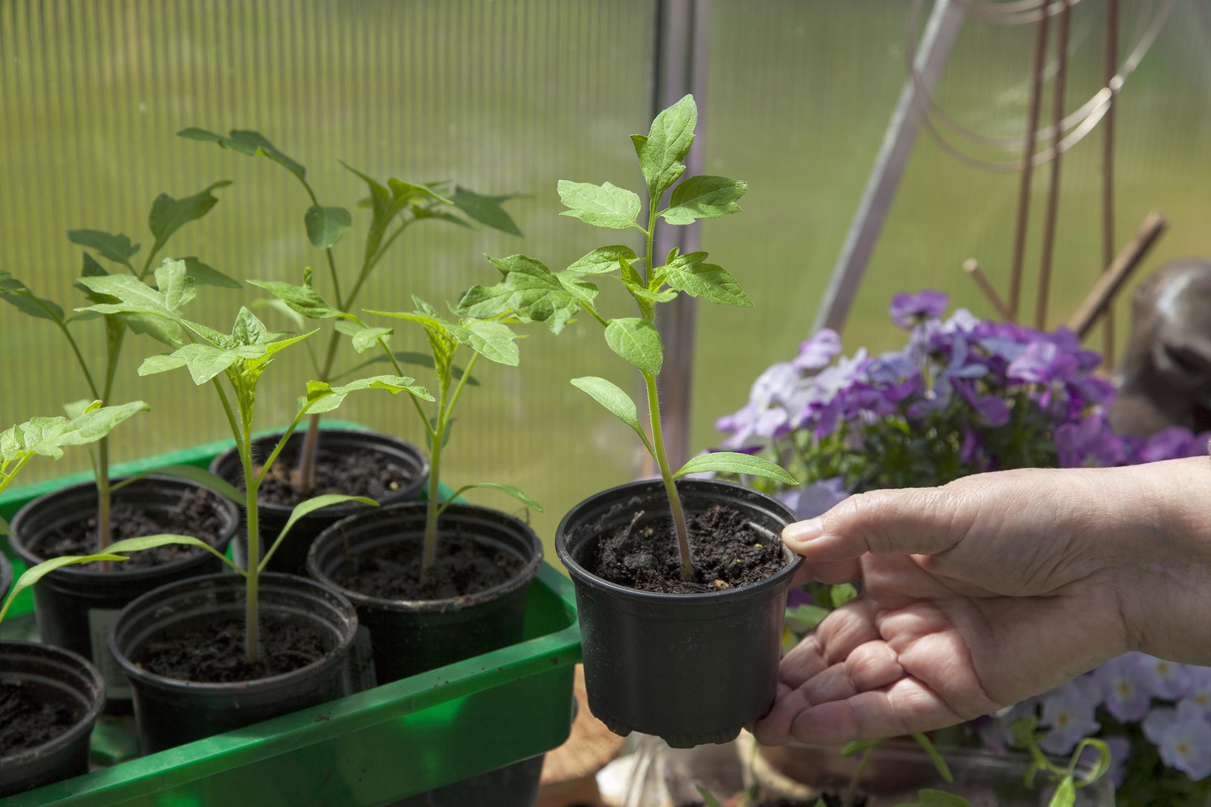 Sow and pot on in the greenhouse or, if necessary, commandeer your window sills