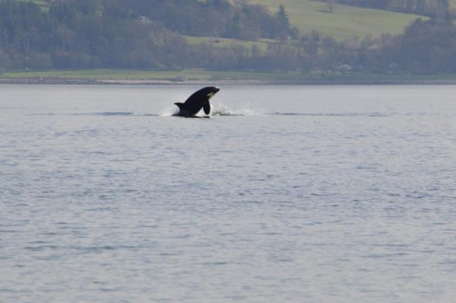 Oor free willy killer whales spotted in the river clyde oor free willy killer whales spotted in the river clyde voltagebd Gallery