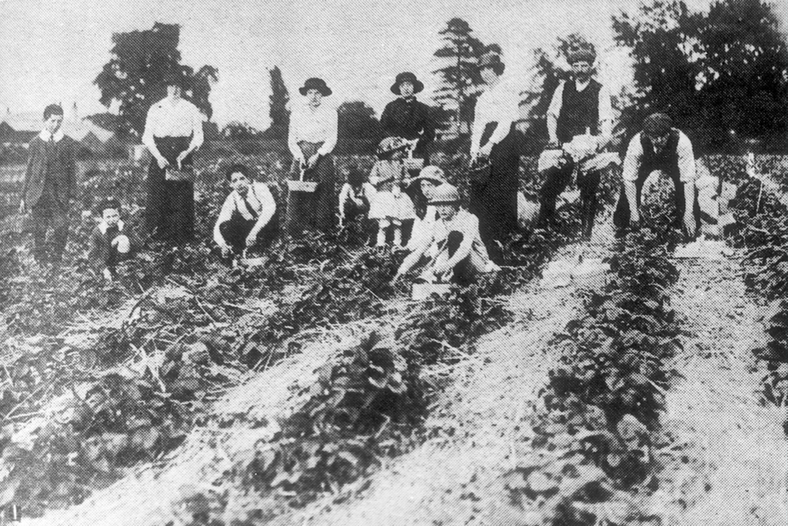 Strawberry picking in the early 20th century