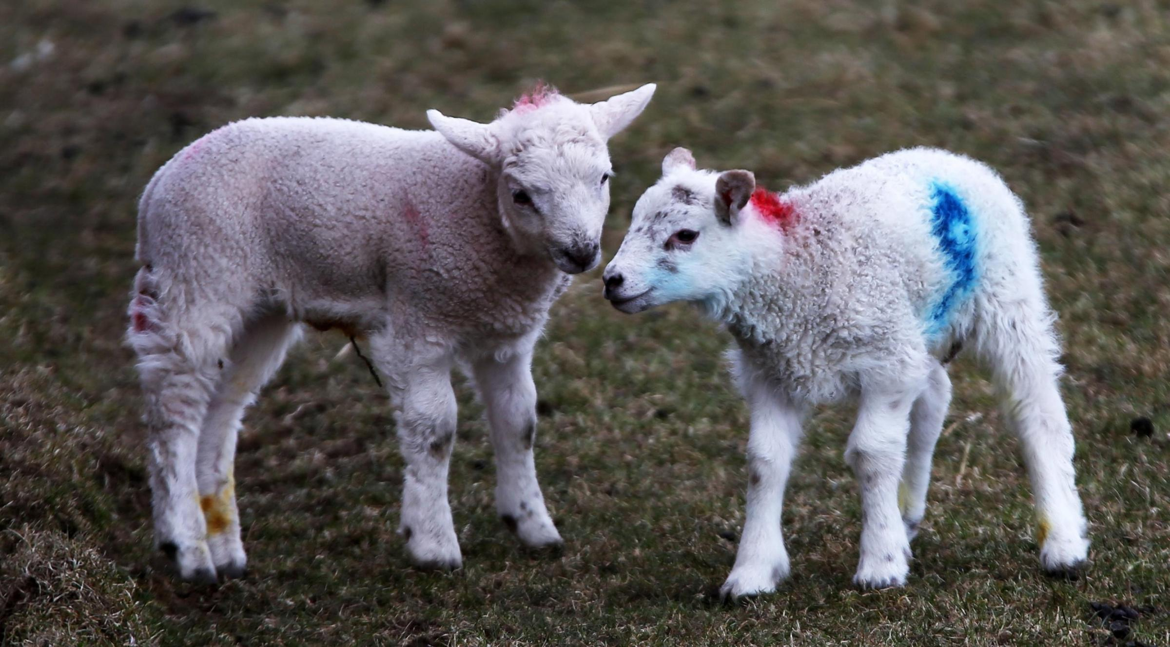 Lambs. Picture: Lynne Cameron/PA Wire.