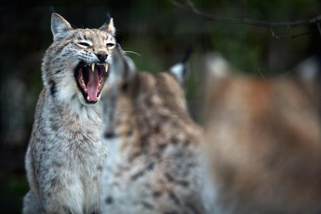 The lynx is one of the predators conservationists would like to see reintroduced in Scotland.