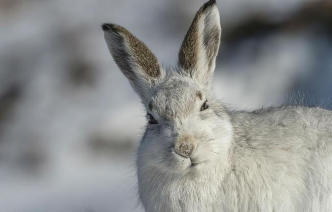 Over 11,000 Scots back making mountain hares a legally protected species to stop mass culls