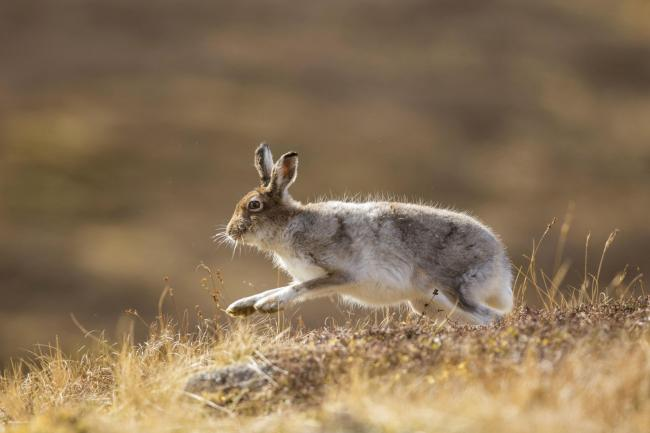 Populations of the mountain hare have dropped sharply on managed grouse moors in the Highlands over the past 20 years, two experts have said Photo by Mark Hamblin/REX Shutterstock