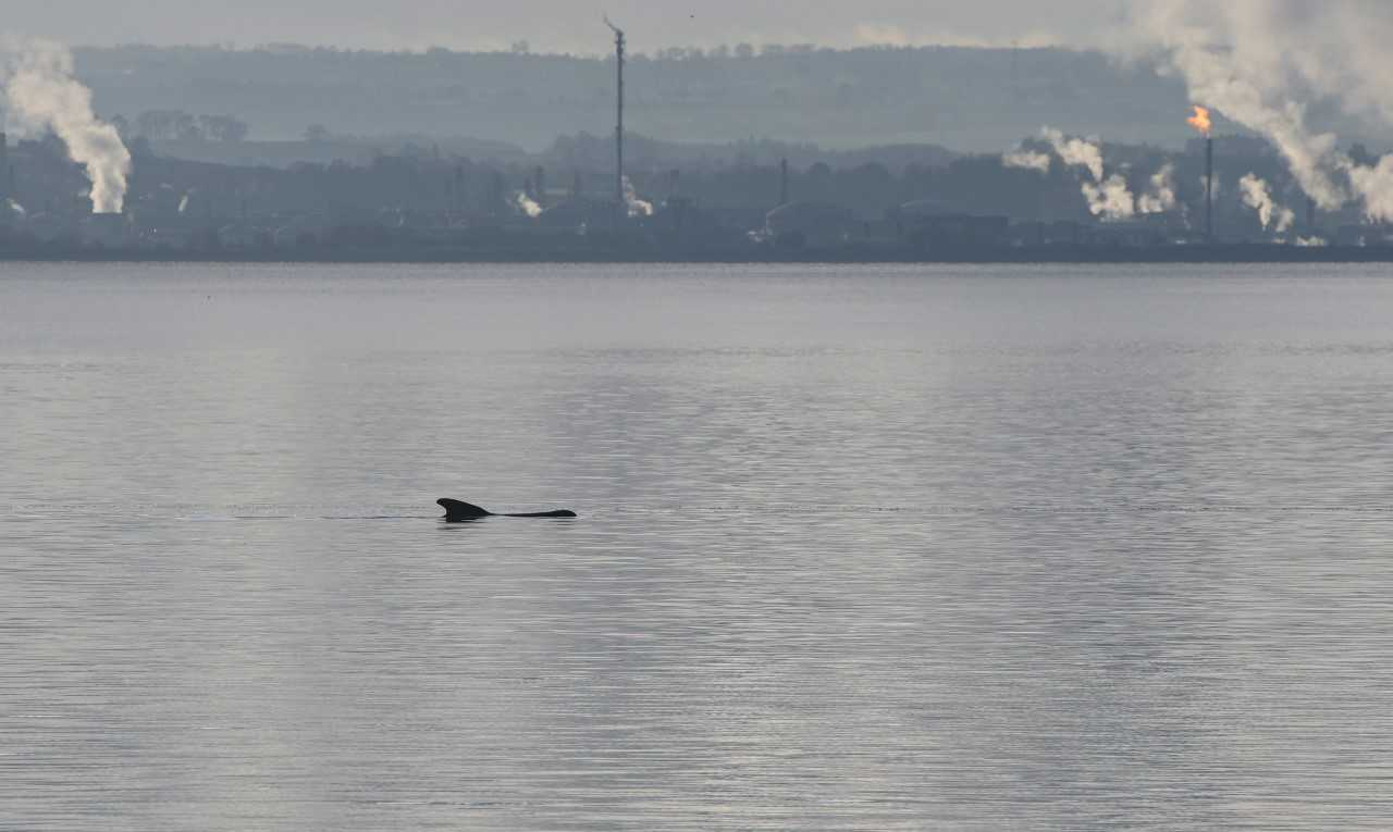 Pod of pilot whales stranded in Fife led to their deaths after 'helping stricken matriarch'
