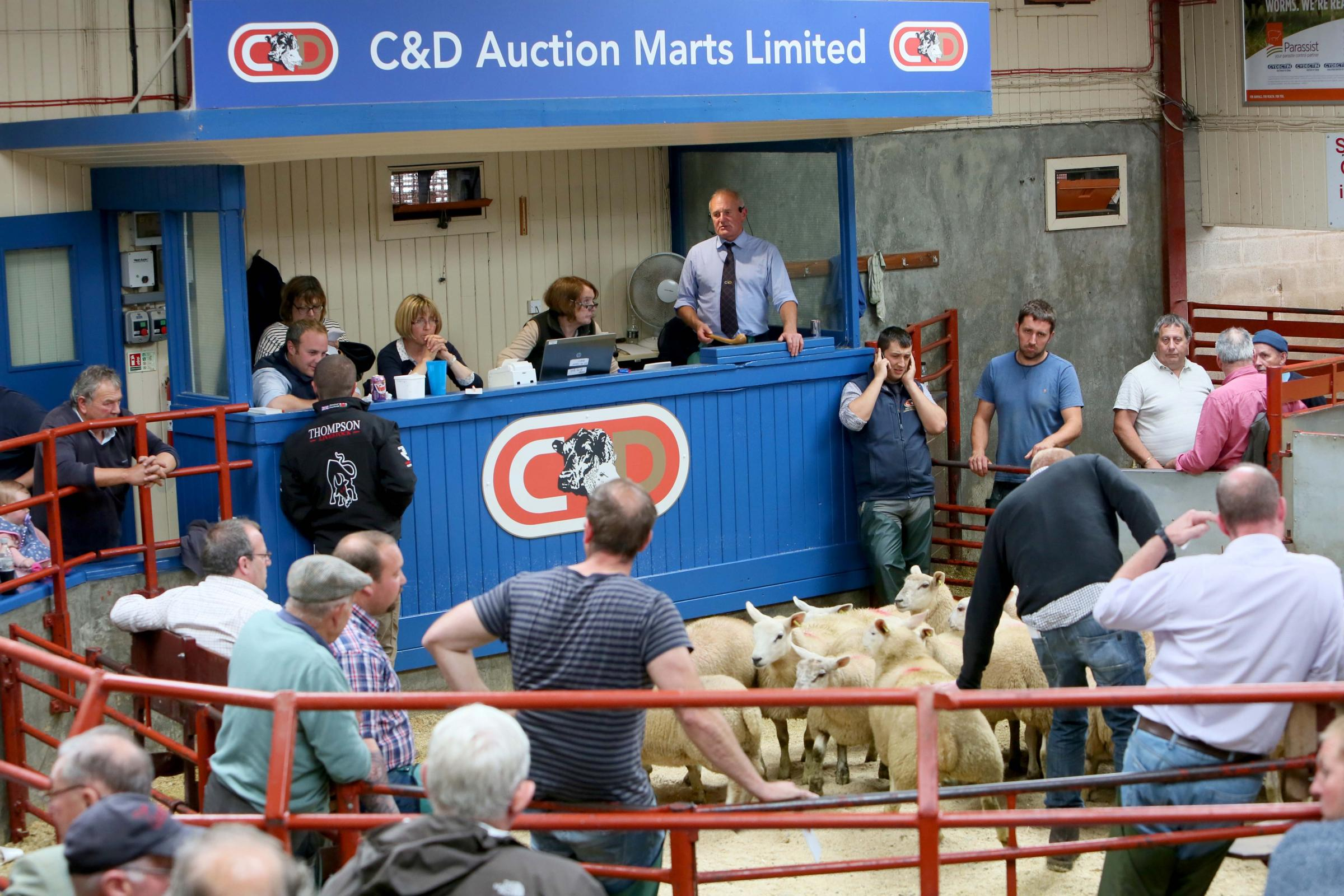 C&D Auction Marts Ltd sold 4485 prime hoggs in Longtown