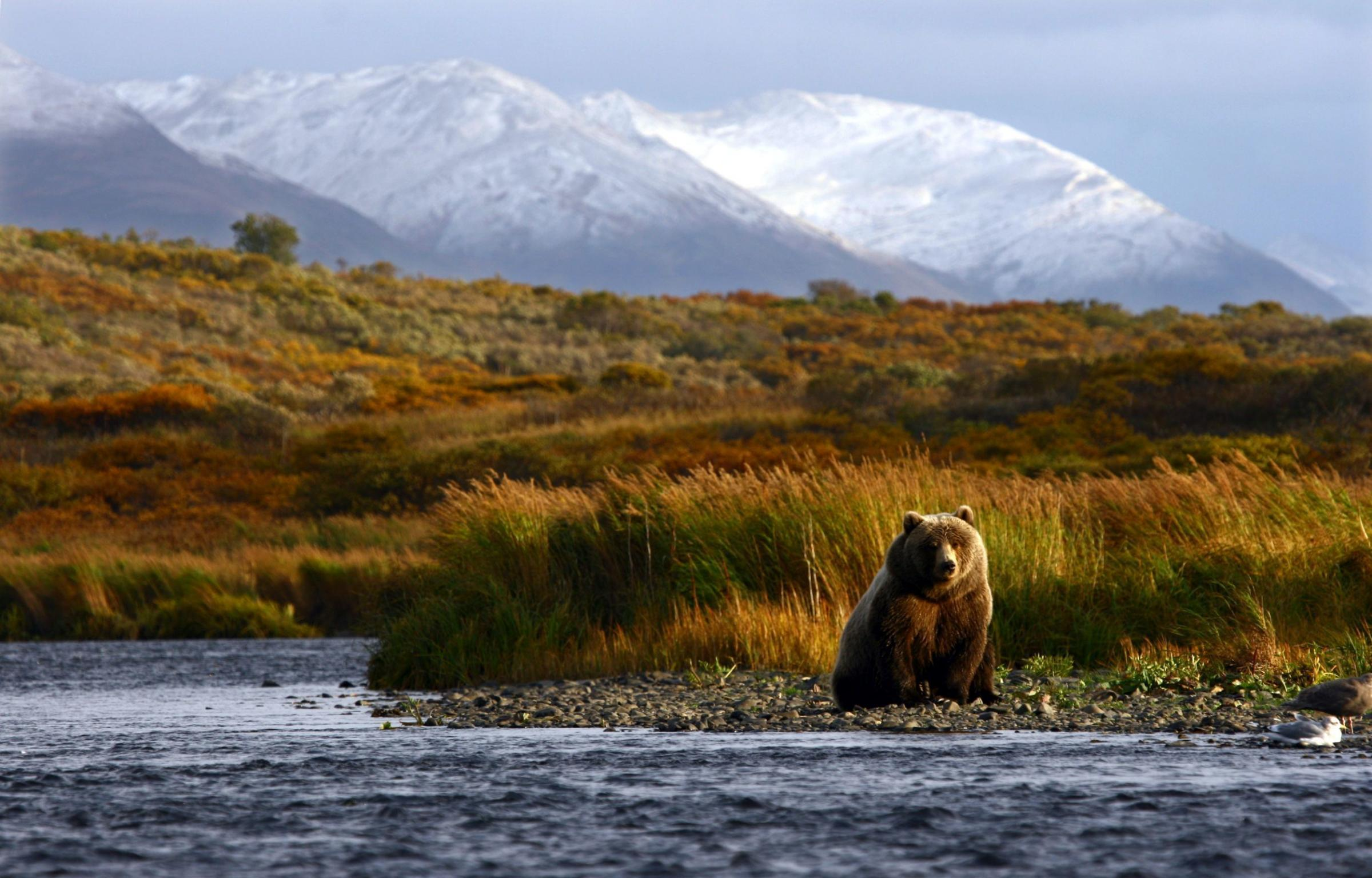 A brown bear on Kodiak Island in Alaska