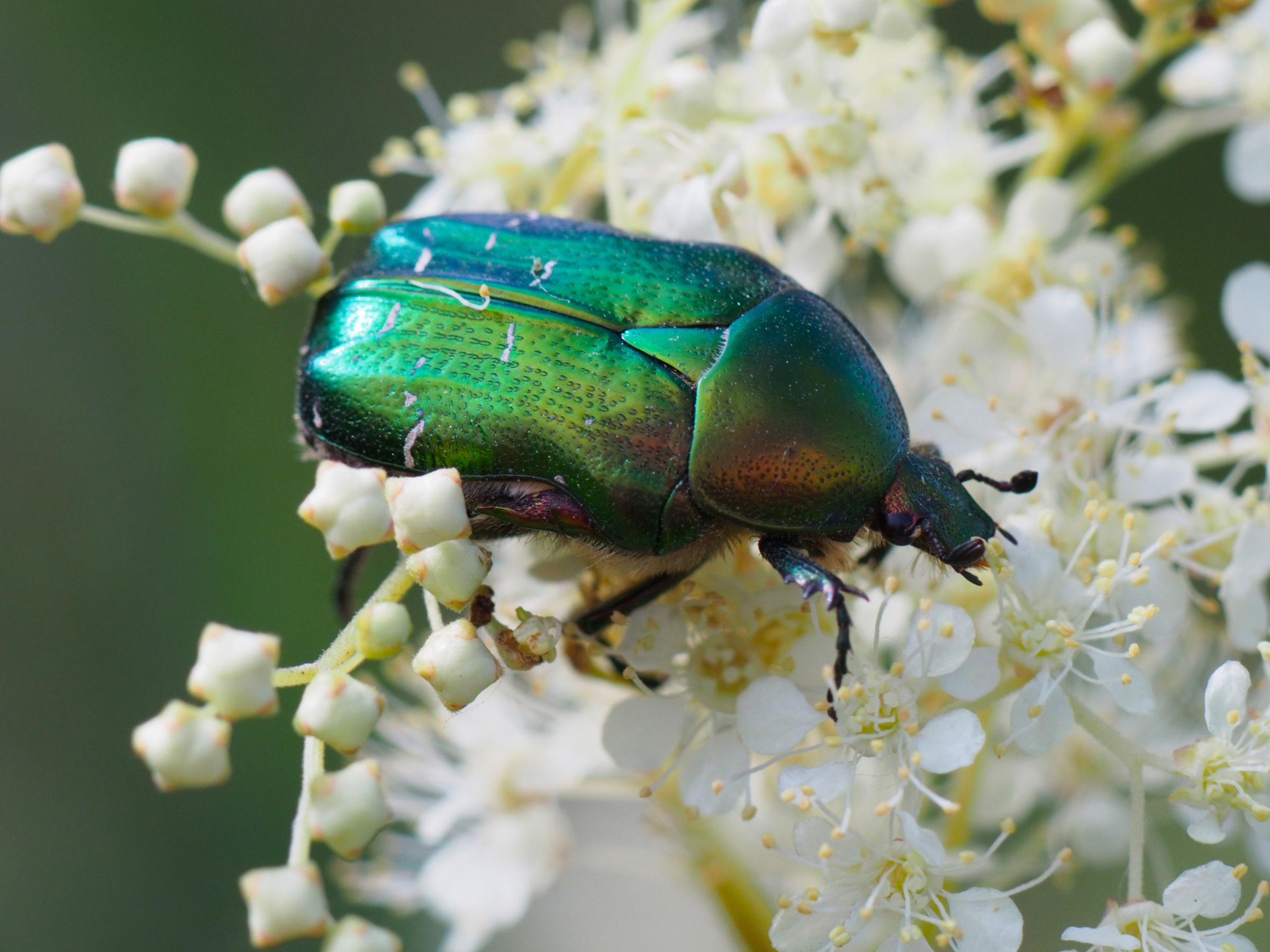 If we are not careful, the world could soon lose insects like this rose chafer beetle