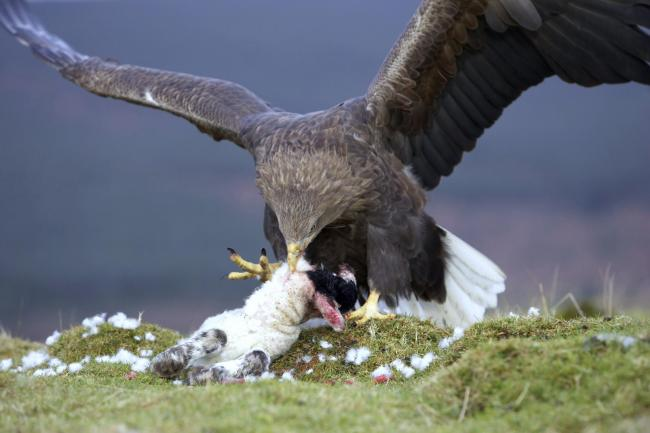 CNW3KD white-tailed sea eagle (Haliaeetus albicilla), feeding from a caught lamb, United Kingdom, Scotland, Argyll, Mull.