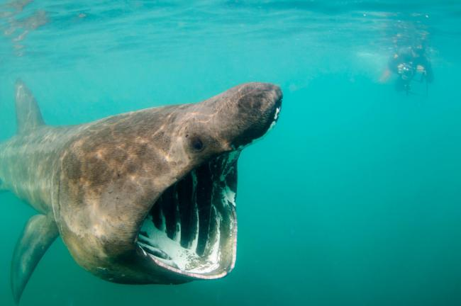 Tourists can get up close and personal with Scotland's biggest fish