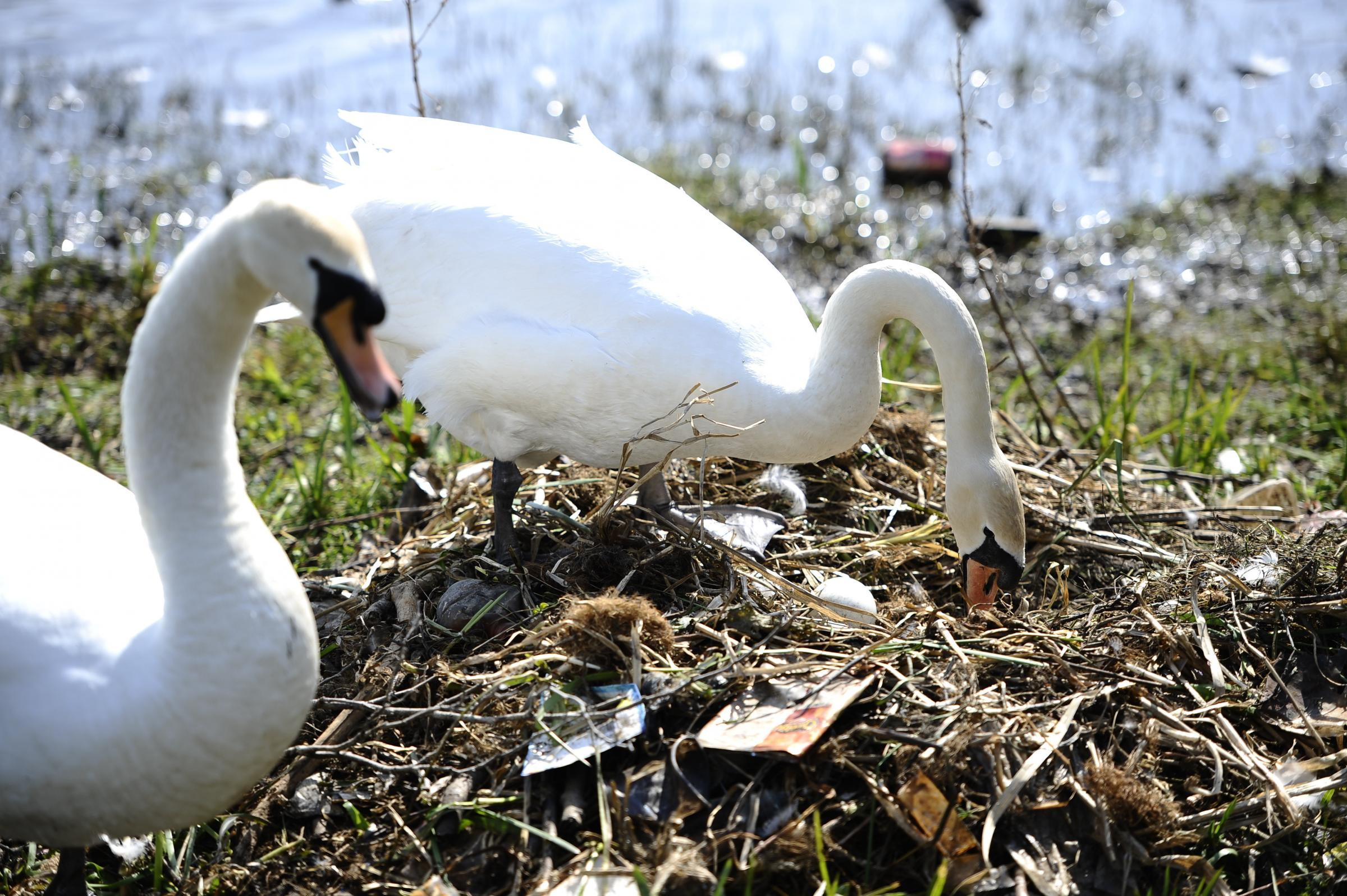 Anger at swans nesting in rubbish in Scottish park