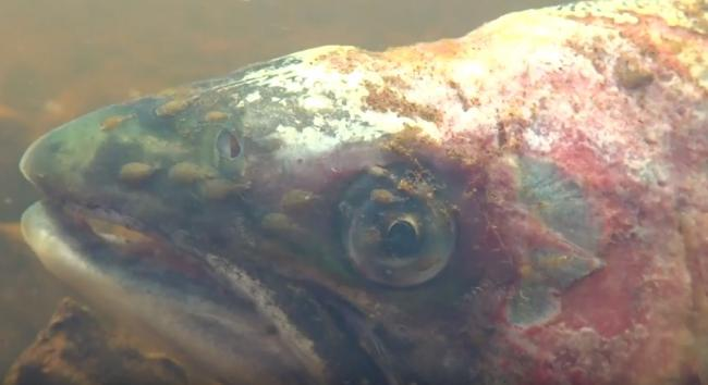 Salmon and Trout Conservation Scotland released footage of adult wild salmon being eaten alive by sea lice in Scotland