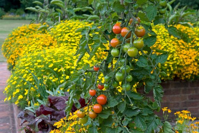 Tomatoes planted with tagetes