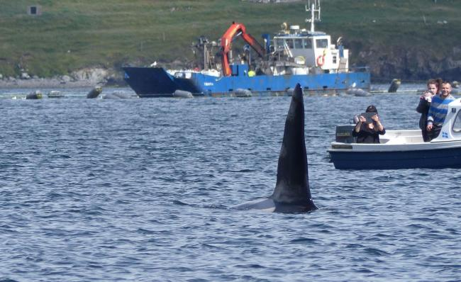 A killer whale spotted in Scottish waters.
