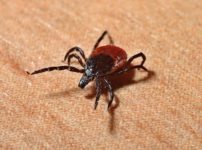 The disease is spread by infected ticks