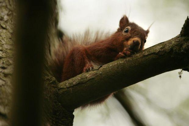 Reds Are Fighting Off Grey Squirrel Invasion Herald Scotland