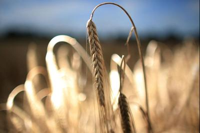 The new research could help produce better varieties of crop for the beer and whisky industries