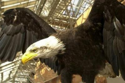MISSING: A bald eagle similar to the one that went missing.