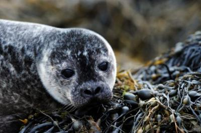 Since the start of 2011 more than 300 seals have been shot by fish farms