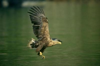 POPULATION PEAK: Farmers claim control measures are needed to keep numbers of sea eagles balanced.